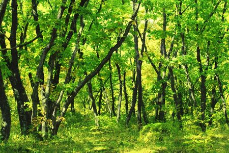 Thicket of the oak tree forest. Woodland scenery.