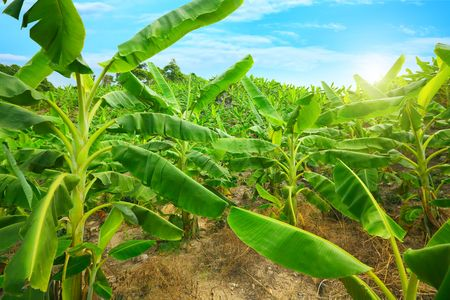 Banana plantation. Khanh Hoa province. Vietnam