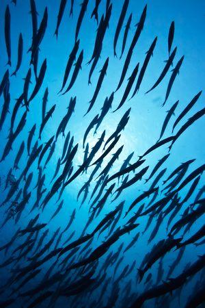 Photo pour School of barracudas underwater and sunlight. Sipadan island - image libre de droit