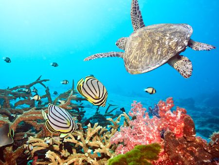Underwater landscape with couple of  Butterflyfishes and turtle