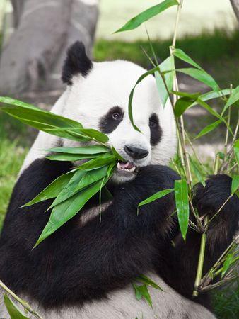 Foto de Giant panda is eating green bamboo leaf - Imagen libre de derechos