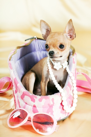 Funny Chihuahua puppy. The smallest breed of dog