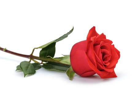 one bright red rose isolated on white background