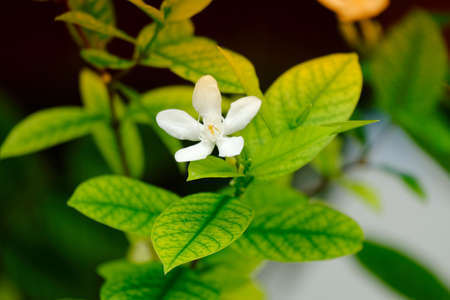 The white Gardenia jasminoides flower blomming alone with green leaves