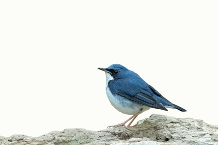 Siberian blue Robin isolated on white background