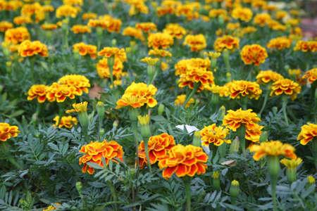 Marigold Flowerの素材 [FY31017688299]