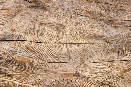Foto de Pattern on tree trunk log after damage caused by bark beetle. Natural wooden texture background. - Imagen libre de derechos