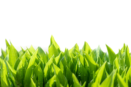 Photo pour Green leaves abstract background. Natural fresh growing greenery isolated on white. - image libre de droit