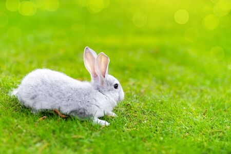 Photo pour Cute adorable grey fluffy rabbit sitting on green grass lawn at backyard. Small sweet white bunny walking by meadow in green garden on bright sunny day. Easter nature and animal bokeh background. - image libre de droit