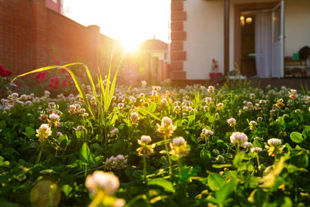 Photo pour Scenic close-up macro white clover grass lawn meadow on home yard against backlit bright warm sunset evening light on background. House backyard gardening, landscaping service and maintenance concept - image libre de droit
