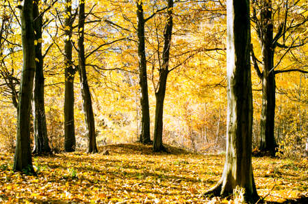 Trunks of trees with fallen yellow leaves on autumn forest background