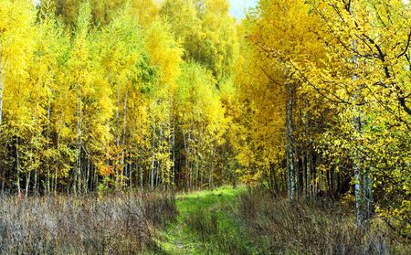 Landscape - young birch forest in autumn season