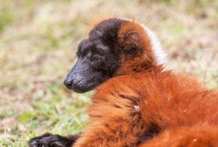 Red Vari - Red ruffed lemur - close