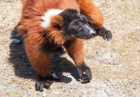 Vari red - black-and-white ruffed lemur - close-up