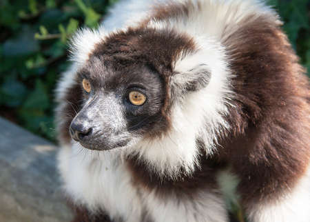 Vari black and white - black-and-white ruffed lemur - close-up
