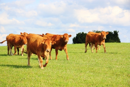 Limousin cattle walking across a pasture in evening sunlight.