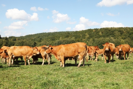 A herd of Limousin beef cows and calves grazing in a sunny pasture