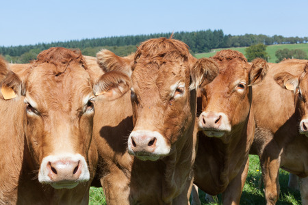 Photo pour Line of Limousin beef cows in   lush green  French countryside, close up head shot with focus to the middle cow - image libre de droit