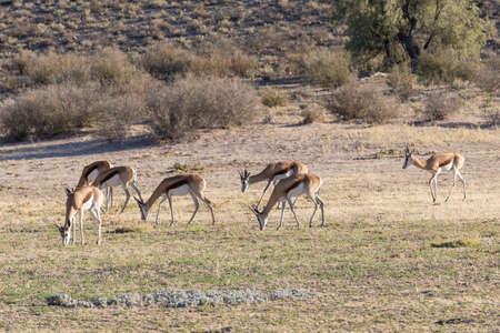 Springbuck or Springbok (Antidorcas marsupialis) Kgalagadi Transfrontier Park, Kalahari, Northern Cape, South Africa. Herd grazing at dawn in Auob River
