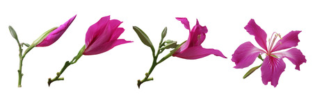Bauhinia flowers - Stages of growth