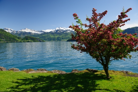 beautiful blossoming trees on the bank of the lake against mountains, Switzerland