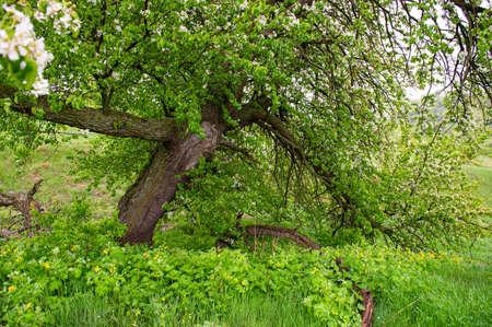 Foto für Blooming old pear tree on a background of green grass. Spring season in May. - Lizenzfreies Bild