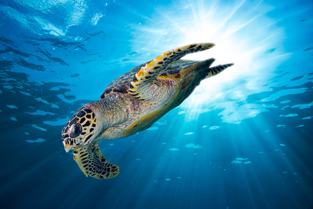 hawksbill sea turtle dive down into the deep blue ocean against the sunlightの写真素材