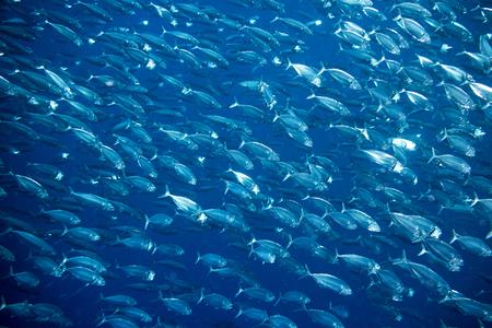 big school of mackerel fish underwater background