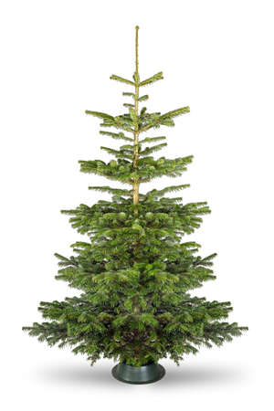 Photo for Empty undecorated natural fresh green Nordmann pine christmas tree isolated in natural condition on white background - Royalty Free Image