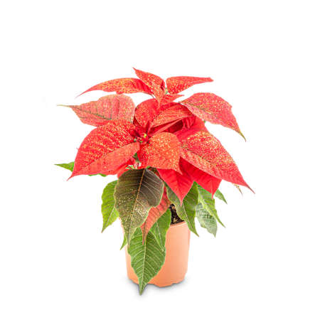 Photo for Beautiful poinsettia in flowerpot - Royalty Free Image