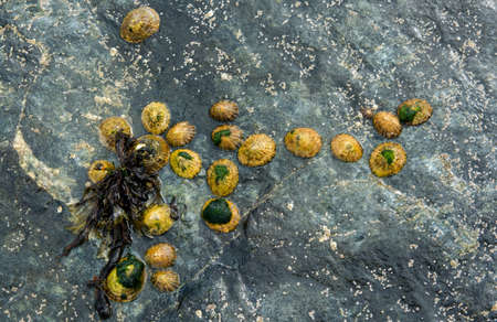 Group of Limpets on a Stone during Low Tide