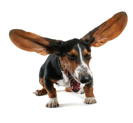 a  basset hound yawning with big ears