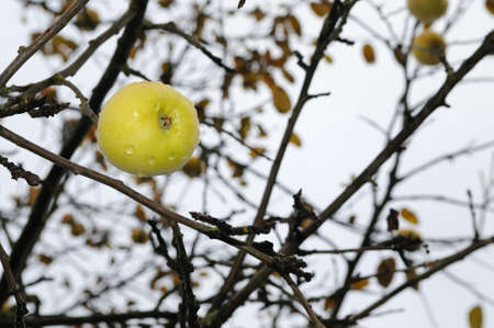 Ripe apple on a tree without leaves. Autumn landscape