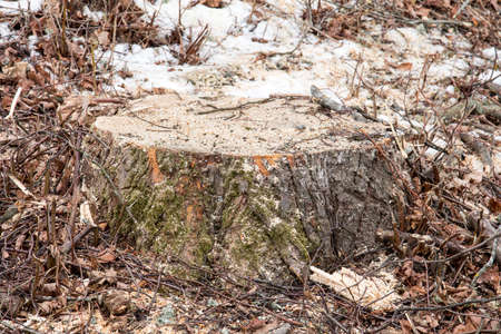 Recently sawed tree stump protrudes above the ground