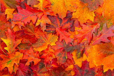 Background of colored autumn leaves. Autumn Leaves Background.
