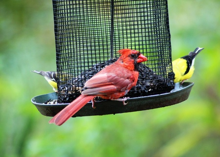 Cardinal and finches