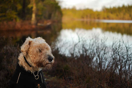 An irish softcoated wheaten terrier, softis, sitting in the ruf outdoor in the nature in front of a lake