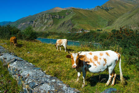 Three cows in caucasus Mountains near Kazbek, Georgia