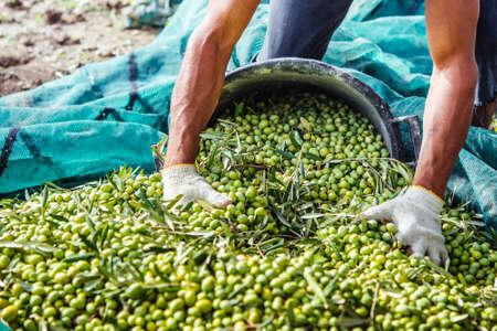 Harvesting olives in Sicily village, Italy