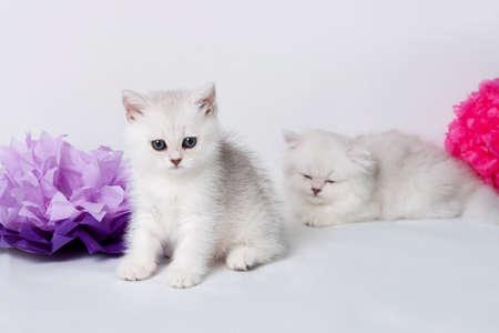 British shorthair kittens portrait. isolated on white