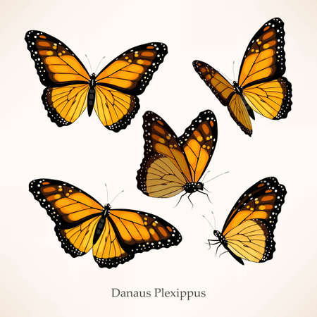 Illustration for Monarch vector art in several different views - Royalty Free Image