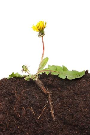 Foto für Dandelion, Taraxacum officinale, plant a section showing root structure leaves,flower and bud in soil against a white background - Lizenzfreies Bild