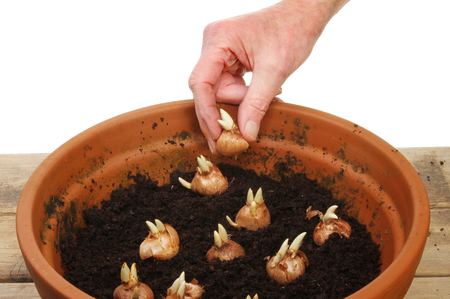 Hand planting crocus bulbs into a pot on a potting bench