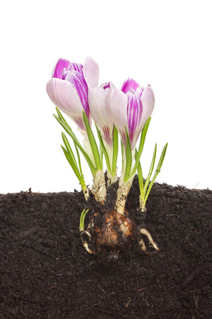 Section through soil showing a crocus bulb, roots, shoots and flowers