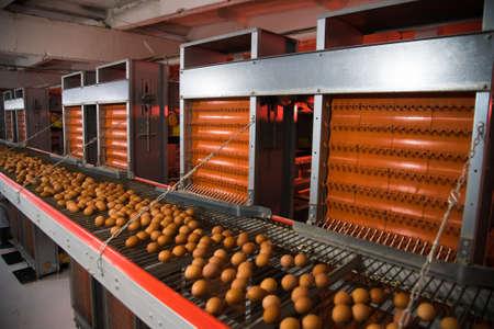 Foto für Fresh brown eggs on a transportation line on a modern poulty factory - Lizenzfreies Bild