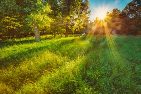 Sunlight In Green Coniferous Forest, Summer Nature