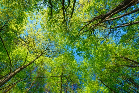 Photo pour Spring Summer Sun Shining Through Canopy Of Tall Trees. Sunlight In Deciduous Forest, Summer Nature. Upper Branches Of Tree. Low Angle View. Woods Background. - image libre de droit