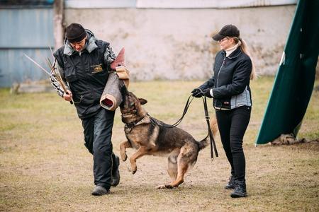 GOMEL, BELARUS - December 12, 2015: German shepherd dog training in Gomel Regional sports club and decorative dog-breeding. Bitting dog.