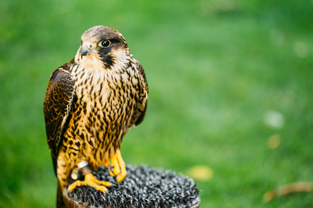 The peregrine falcon . Falco peregrinus, also known as the peregrine, and historically as the duck hawk in North America, is a widespread bird of prey in the family Falconidae.
