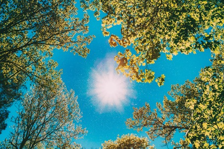 Photo for Sunny Canopy Of Tall Trees. Sunlight In Deciduous Forest, Summer Nature. Upper Branches Of Tree. Low Angle View. - Royalty Free Image